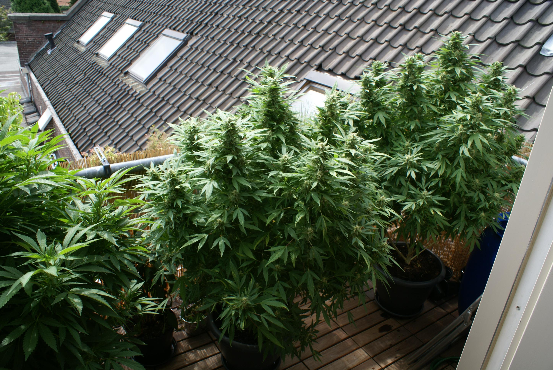 Grote Potplanten Voor Buiten.Buiten Kweken Canshaman
