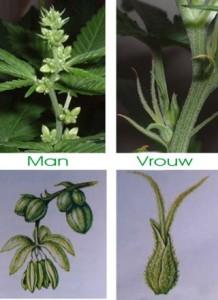 cannabis-man-vrouw