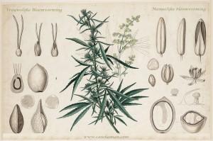 manvrouw cannabis